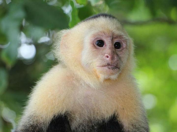 Venden mono capuchino en Facebook y hasta en Tepito (y esto