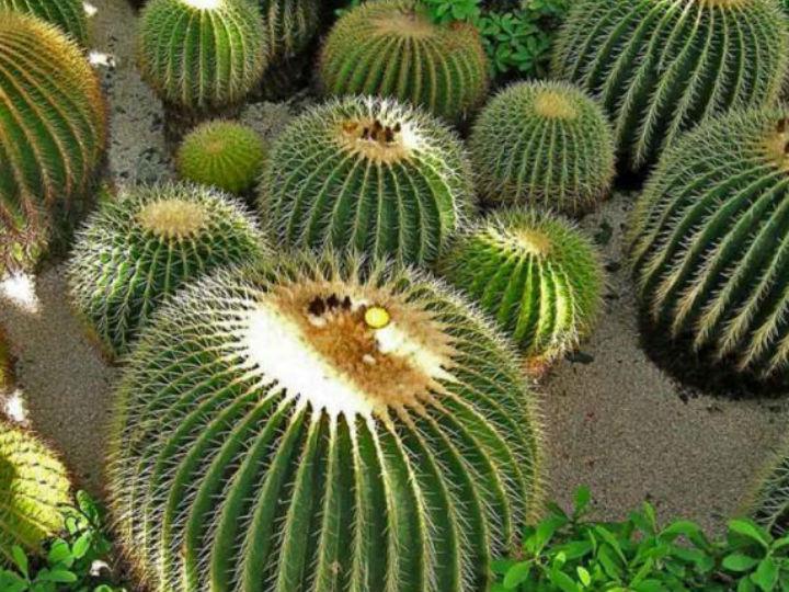Producción de acitrón en peligro: Cactus mexicano en peligro de extinción