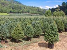 Siempre Verde lleva árboles de navidad a domicilio y en maceta para luego regresarlos a cielo abierto. Aquí, un árbol en etapa de 'banqueo'. Foto: SiempreVerde.mx